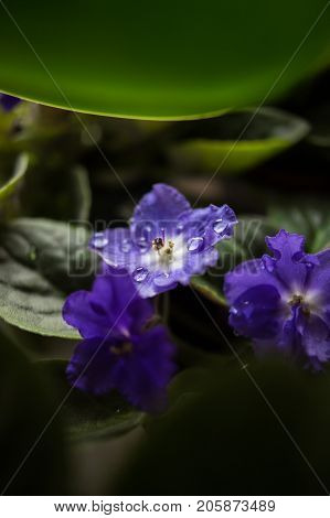 Violets with dewdrops, macro closeup. Shallow depth of field