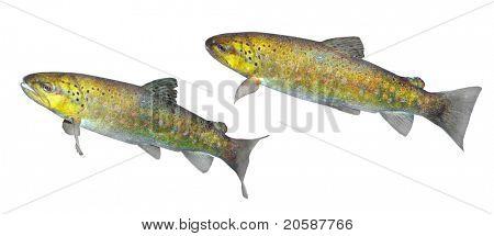 The brown trout (Salmo trutta morpha)
