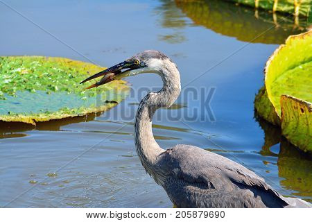 Great Blue Heron holds fish in its beak before swallowing it, with lily pads in background.