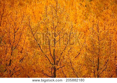 A close up of a grove of aspen trees in full fall glory of gold yellow and orange.