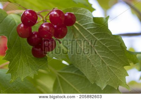 Appetizing bunch of ripe red berries of viburnum against the background of green leaves