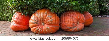 Four giant pumpkins decorate a corner of a brick sidewalk underneath a green leafy hedge in autumn.