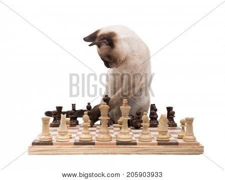 Siamese kitten moving chess pieces, on white