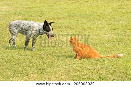 Ginger tabby cat and a spotted dog in a standoff, with the pushy dog trying to encroach the cat, and cat standing his ground