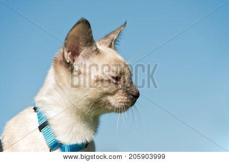 Profile of a tortie point Siamese kitten in blue harness against blue sky
