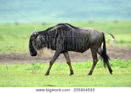 black wildebeest or white-tailed gnu (Connochaetes gnou) in Tanzania, Africa