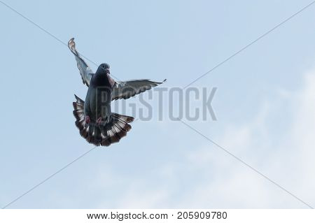 flying homing pigeon against clear morning sky