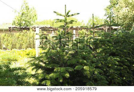 Beautiful fir trees for Christmas sale at market