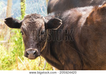 young calf close-up in the Caucasus. The concept of young farming