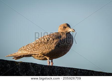 Hybrid Bird, A Mix Of European Herring Gull Larus Argentatus And Glaucous Gull Larus Hyperboreus Sta