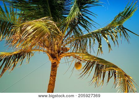 Palm tree with coconuts against the blue sky.