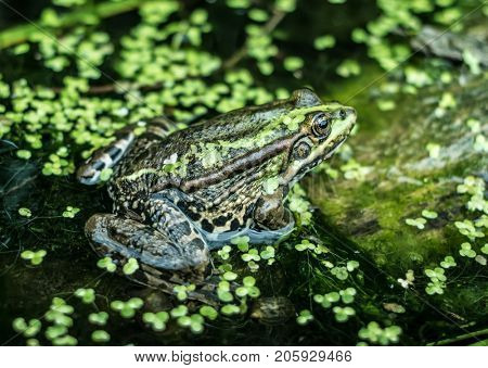 River frog is sitting on the the old drowned tree trunk overgrown with moss