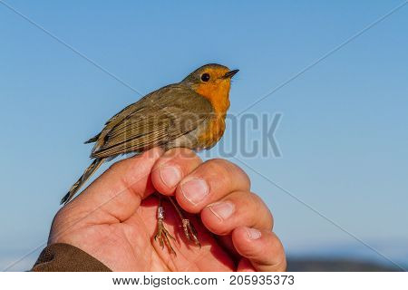 Robin, Erithacus rubecula, bird is held in a womans hand for ringing, or banding, in Jomfruland Bird Station Norway
