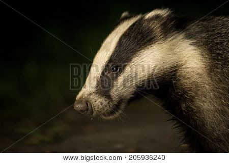 Badger - Meles meles - out at night, portrait of head with dark natural background