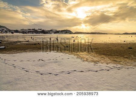 Mute swans - Cygnus olor - in the ocean at Hamresanden, Kristiansand, Norway. Hamresanden is a popular beach at summertime, but also a good bird location.