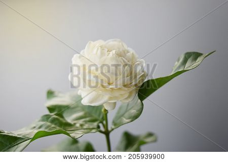 White flower have soft petals Jasminum sambac in scientific name and space for text. - Tropical Asia flower.