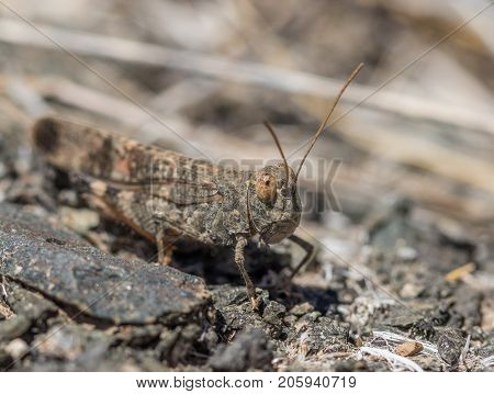 A macro shot of a Gran Canaria sand grasshopper Sphingonotus guanchus on a rock. Endemic to Gran Canaria, Spain endangered species red listed