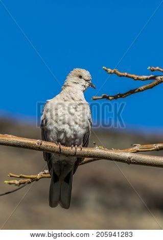 Collared Dove sitting on branch with mountain and blue sky behind. Playa del Cura Gran Canaria Spain. Vertical