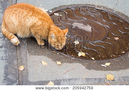 Autumn in the city. Ginger cat laps water from the hatch cover