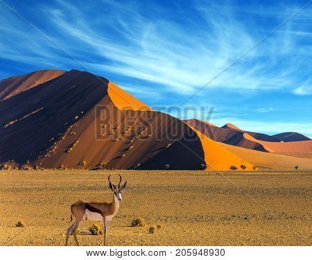 African antelope Impala standing at the road. Travel to Namibia, South Africa. Sunset in most ancient in the world Namib Desert. The concept of extreme and exotic tourism