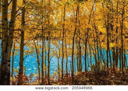 Journey to the Golden Autumn in Rocky Mountains. The flooded coastal aspen grove. Picturesque turquoise Abraham Lake in a flood. The concept of ecological and active tourism
