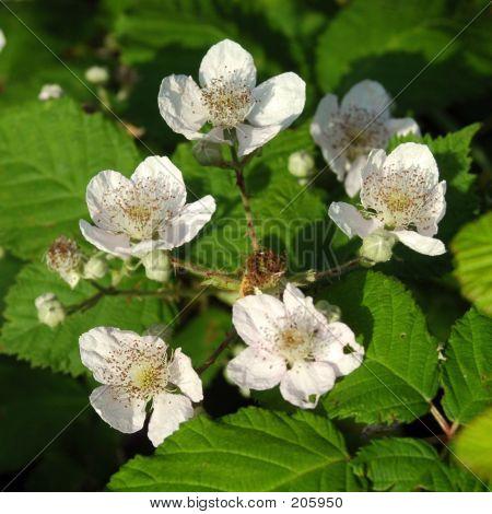 BlackBerry-Blüten