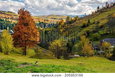 Tree With Yellow Foliage In Carpathian Village