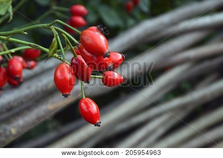 Rose hip, Dog rose red ripe fruits.Fresh raw briar (Rosa canina) berries in the garden.Natural autumn background.Herbal medicine,Medicinal plants and herbs concept.Selective focus.