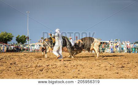 Fujairah, UAE, April 1, 2016: bulls are fighting in a traditional event in Fujairah, UAE