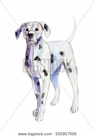 The dalmatian isolated on white background watercolor illustration.