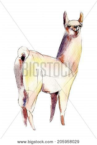 The white alpaca watercolor illustration isolated on white background.