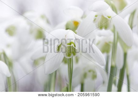 Snowdrops. Galanthus nivalis the snowdrop or common snowdrop, is the best-known and most widespread of the 20 species in its genus