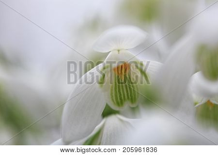 Snowdrops with extreme selective focus. Galanthus nivalis, the snowdrop or common snowdrop, is the best-known and most widespread of the 20 species in its genus,