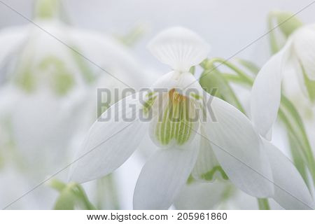Beautiful petals and flower of Snowdrops on a winters day. Galanthus Nivalis