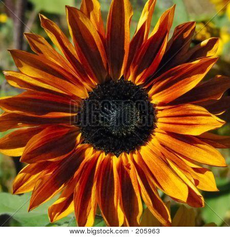 Glorreiche Sonnenblume