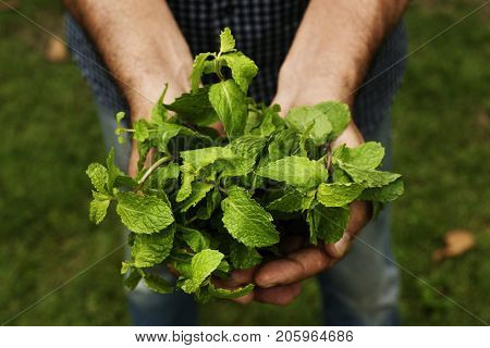 Hands holding peppermint organic produce from farm