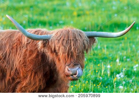 A highland cattle with a tongue thrust.