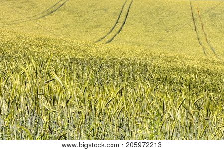 A barley field during a sunny day in summer.