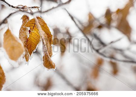 Faint yellow leaf of bird cherry tree with hoarfrost on branch. Concept wallpaper autumn or early winter. Selective focus. Close up.