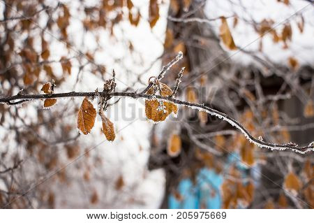 Faint yellow leaf of bird cherry tree with hoarfrost on branch. Concept wallpaper autumn or early winter. Blurred village house background. Selective focus. Close up.