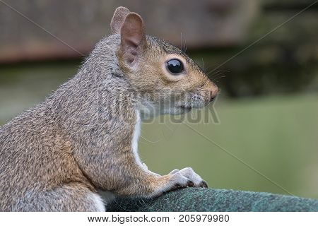 Close up side view profile portrait of a grey squirrel looking to the right