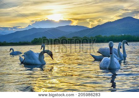 Group Of Wild Swans Swimming In A River On A Sunset. Hdr Image.