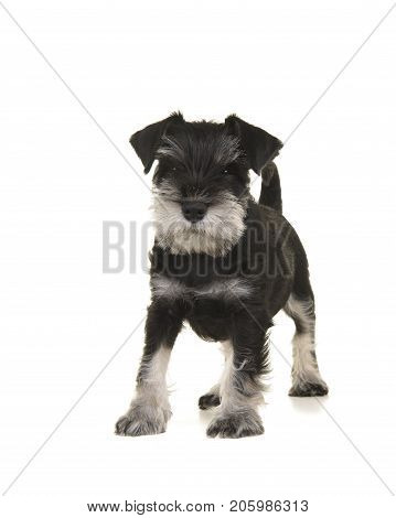 Black and grey mini schnauzer puppy standing seen from the front looking at the camera isolated on a white background