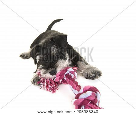Black and grey mini schnauzer puppy lying on the floor pulling on a pink and white woven rope toy isolated on a white background