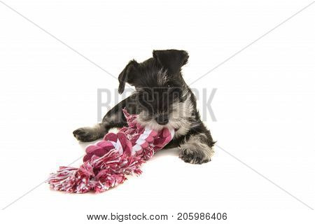 Black and grey mini schnauzer puppy lying on the floor chewing on a pink and white woven rope toy seen from the front isolated on a white background