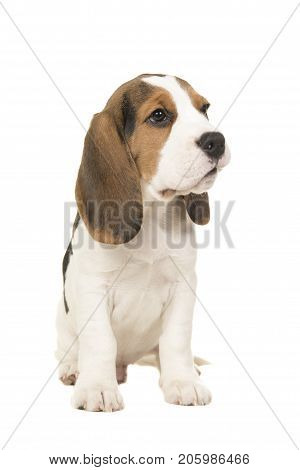 cute sitting beagle puppy looking the the right side isolated on a white background
