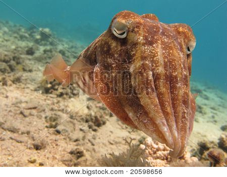 Tintenfisch (Sepia) in klarem, blauem Wasser