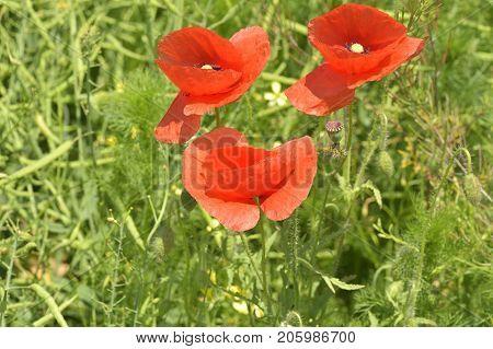 Red Poppy (common Names: Corn Poppy, Corn Rose, Field Poppy, Flanders Poppy, Red Poppy, Red Weed, Co