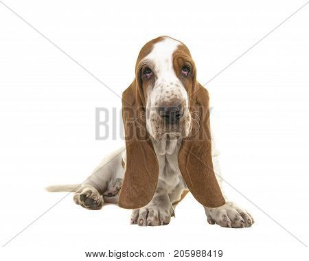 10 weeks old basset hound puppy with droopy eyes looking at the camera sitting on white background