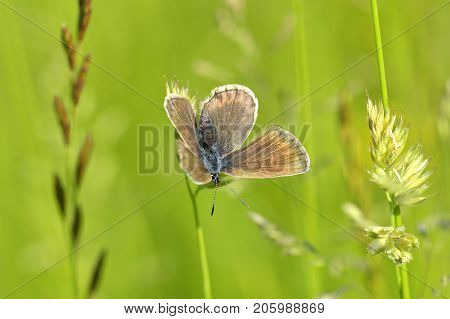 Common Blue butterfly - polyommatus Icarus. Natural outdoors  background